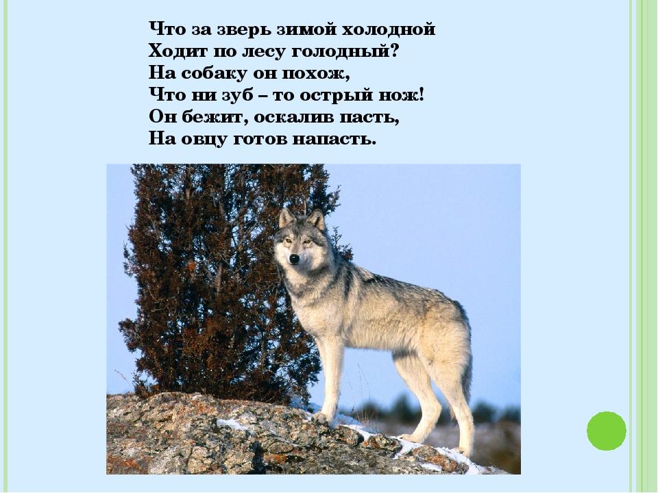 Что за зверь зимой холодной Ходит по лесу голодный? На собаку он похож, Что н...