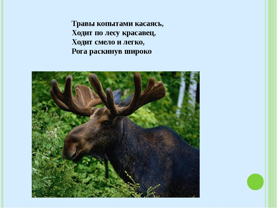 Травы копытами касаясь, Ходит по лесу красавец, Ходит смело и легко, Рога р...
