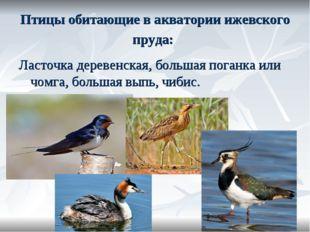 Птицы обитающие в акватории ижевского пруда: Ласточка деревенская, большая по