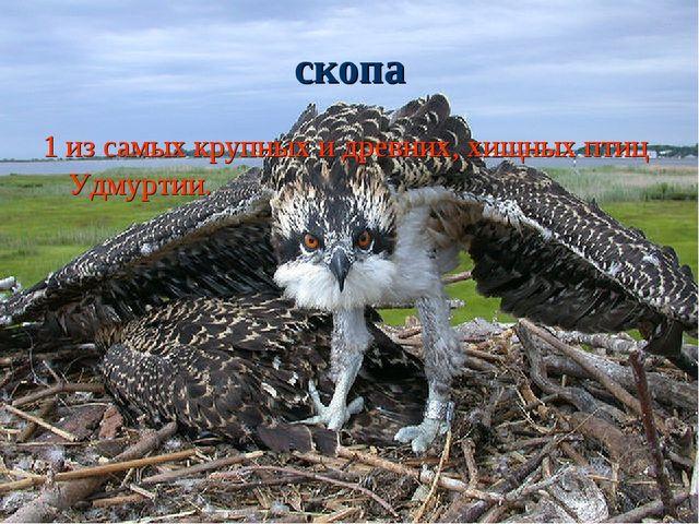 скопа 1 из самых крупных и древних, хищных птиц Удмуртии.