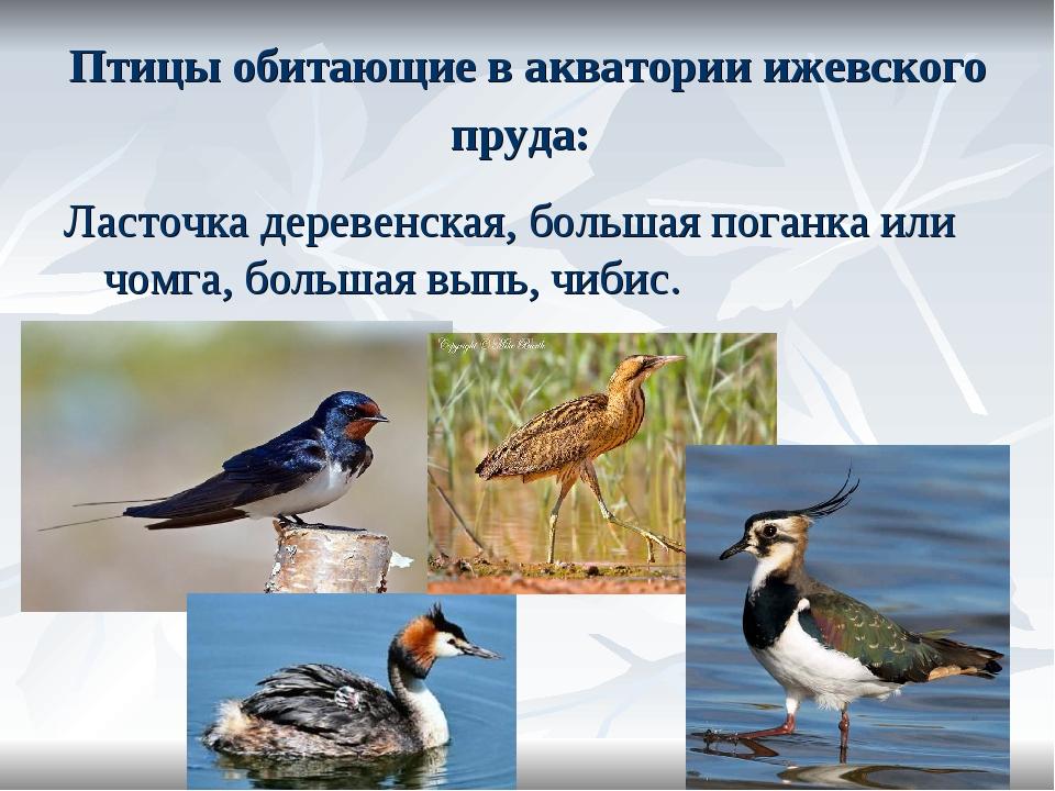 Птицы обитающие в акватории ижевского пруда: Ласточка деревенская, большая по...