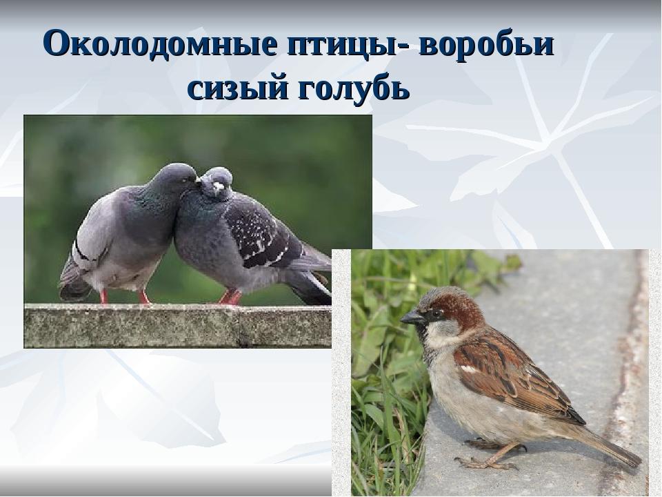 Околодомные птицы- воробьи сизый голубь