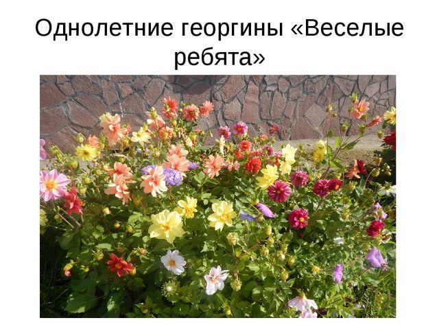 Однолетние георгины «Веселые ребята»