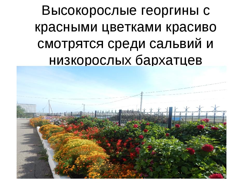 Высокорослые георгины с красными цветками красиво смотрятся среди сальвий и н...