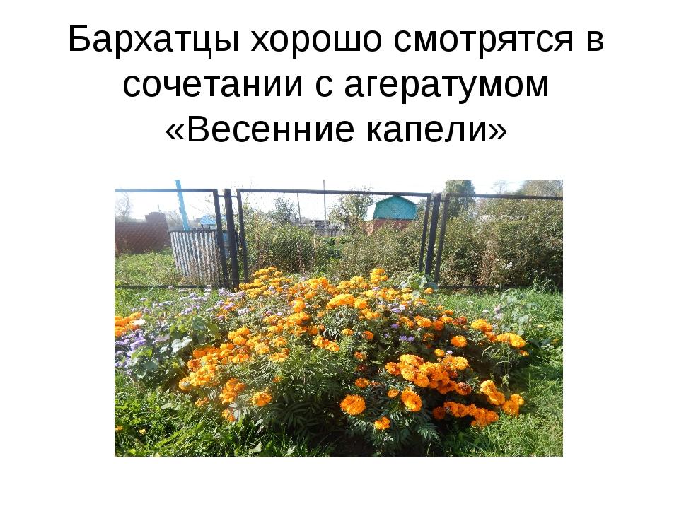 Бархатцы хорошо смотрятся в сочетании с агератумом «Весенние капели»