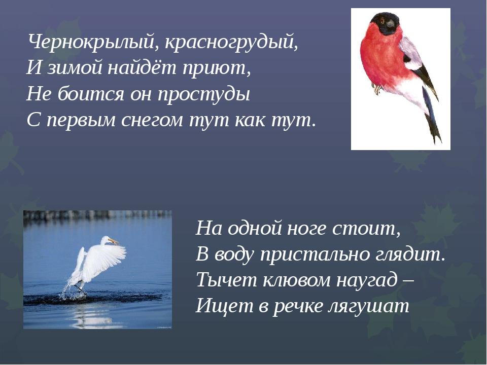 Чернокрылый, красногрудый,  И зимой найдёт приют...