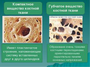 Компактное вещество костной ткани Губчатое вещество костной ткани Имеет пласт