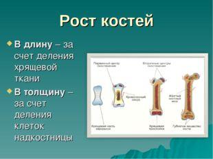 Рост костей В длину – за счет деления хрящевой ткани В толщину – за счет деле