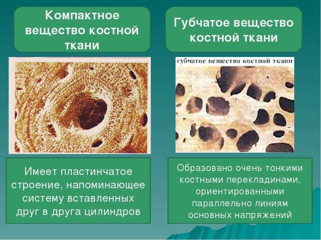 Компактное вещество костной ткани Губчатое вещество костной ткани Имеет пласт...