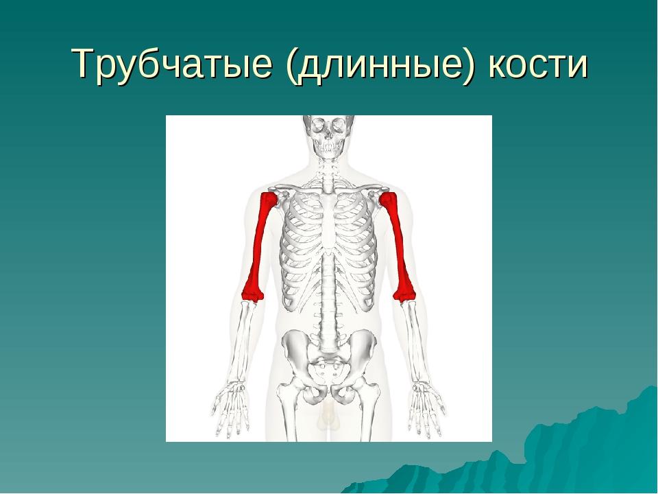 Трубчатые (длинные) кости