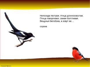 Непоседа пестрая, птица длиннохвостая, Птица говорливая, самая болтливая. Вещ