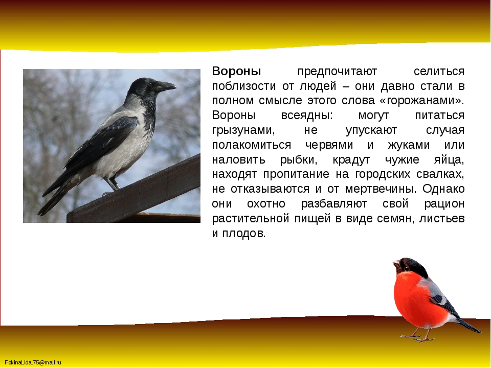 Вороны предпочитают селиться поблизости от людей – они давно стали в полном с...