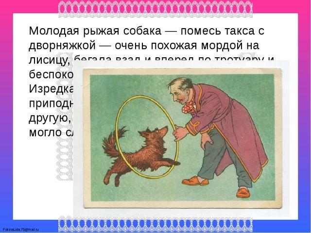 Молодая рыжая собака — помесь такса с дворняжкой — очень похожая мордой на ли...