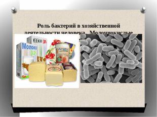 Роль бактерий в хозяйственной деятельности человека. Молочнокислые бактерии.