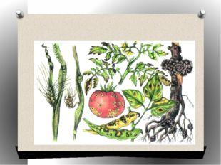 Растения, пораженные болезнетворными бактериями