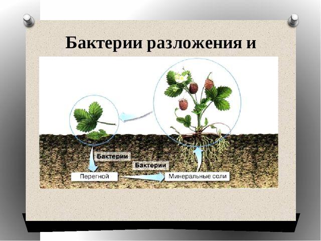 Бактерии разложения и гниения.