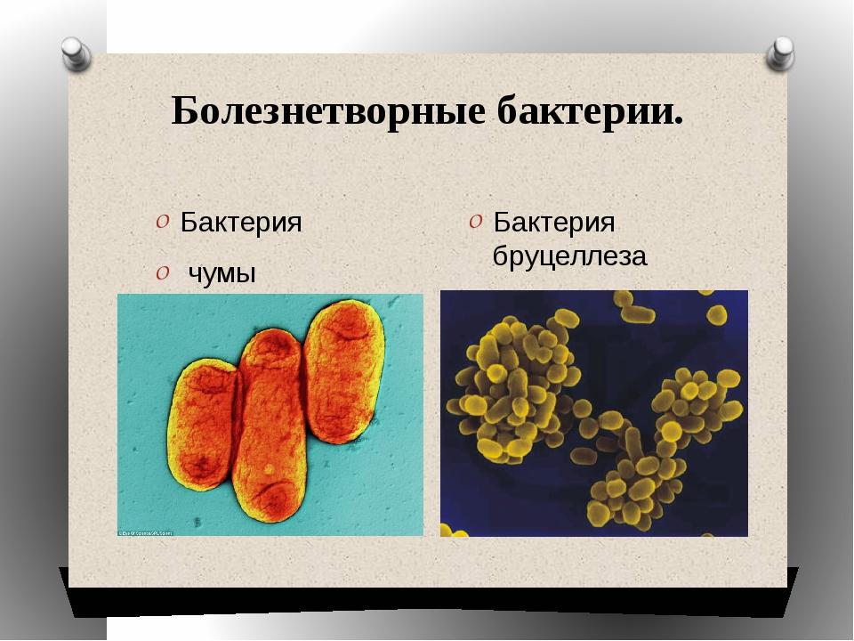 Болезнетворные бактерии. Бактерия чумы Бактерия бруцеллеза