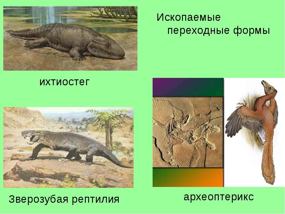 ихтиостег Зверозубая рептилия археоптерикс Ископаемые переходные формы