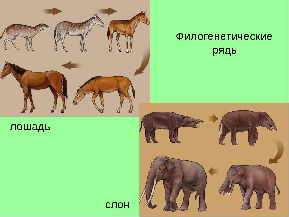 Филогенетические ряды лошадь слон