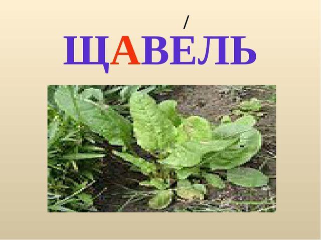 ЩАВЕЛЬ /