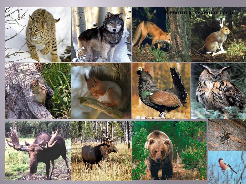 Животные хвойных лесов