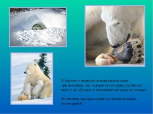 В берлоге у медведицы появляются один– три детеныша, вес каждого из которых с