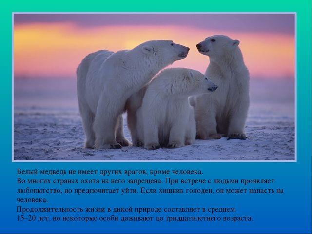 Белый медведь не имеет других врагов, кроме человека. Во многих странах охота...