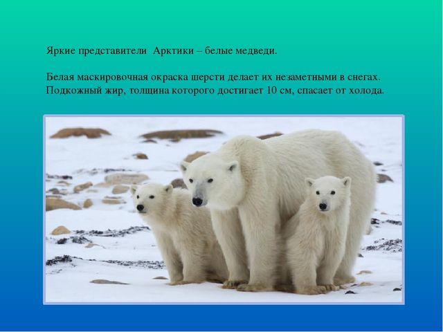 Яркие представители Арктики – белые медведи. Белая маскировочная окраска шерс...