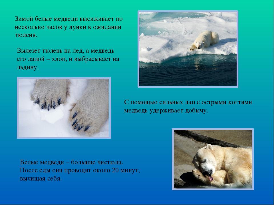 Зимой белые медведи высиживает по несколько часов у лунки в ожидании тюленя....