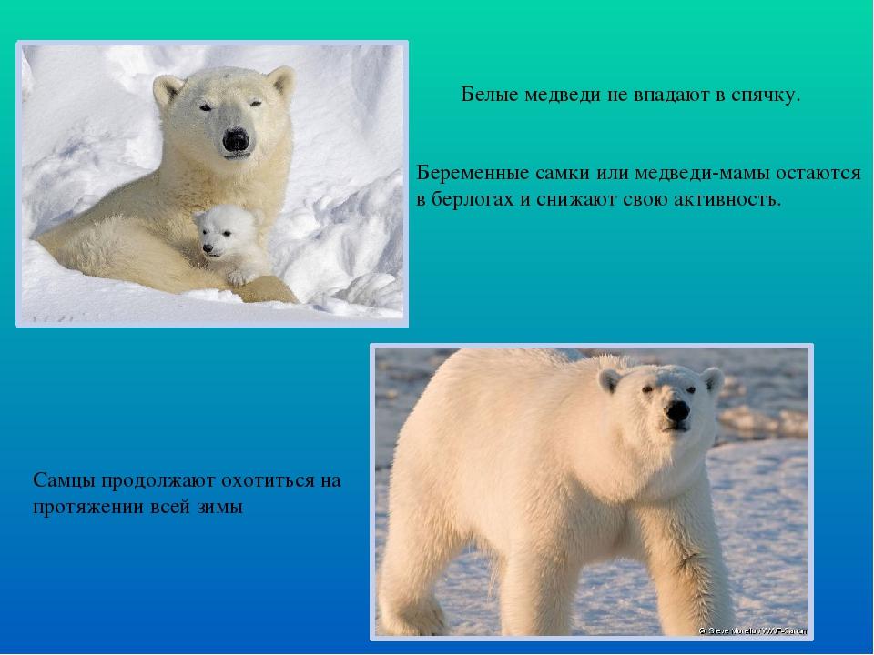 Белые медведи не впадают в спячку. Беременные самки или медведи-мамы остаютс...
