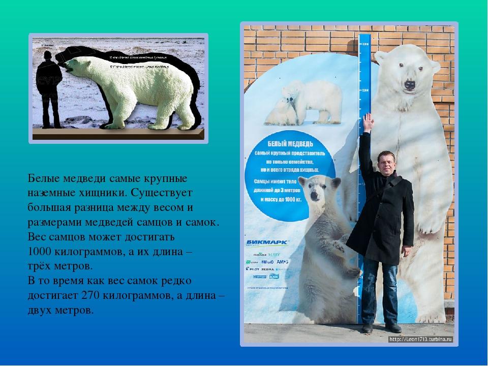 Белые медведи самые крупные наземные хищники. Существует большая разница межд...