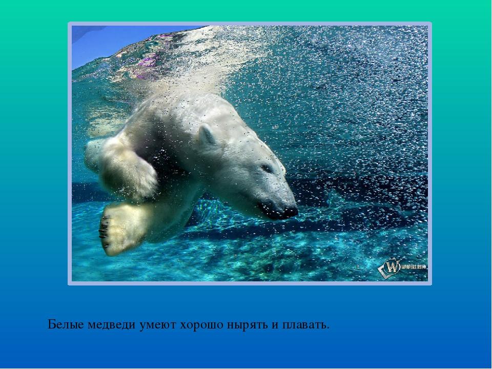 Белые медведи умеют хорошо нырять и плавать.