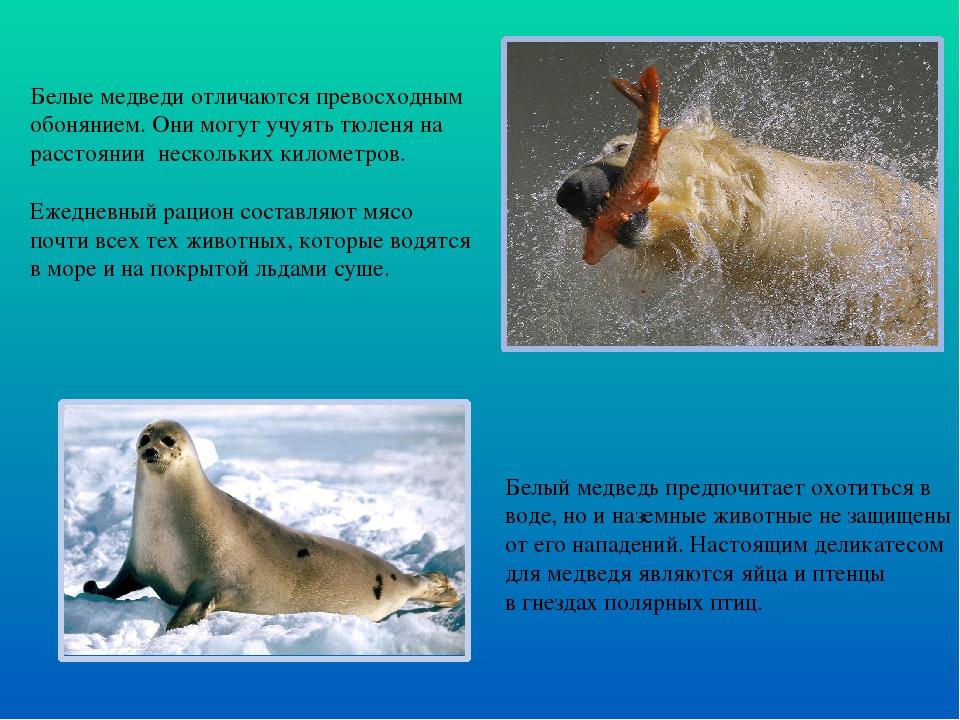 Белые медведи отличаются превосходным обонянием. Они могут учуять тюленя на р...