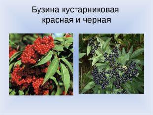 Бузина кустарниковая красная и черная