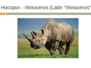 """Носорог - rhinoceros (Latin """"rhinoceros"""")"""