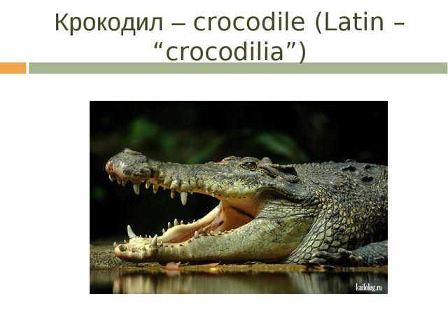 """Крокодил – crocodile (Latin – """"crocodilia"""")"""