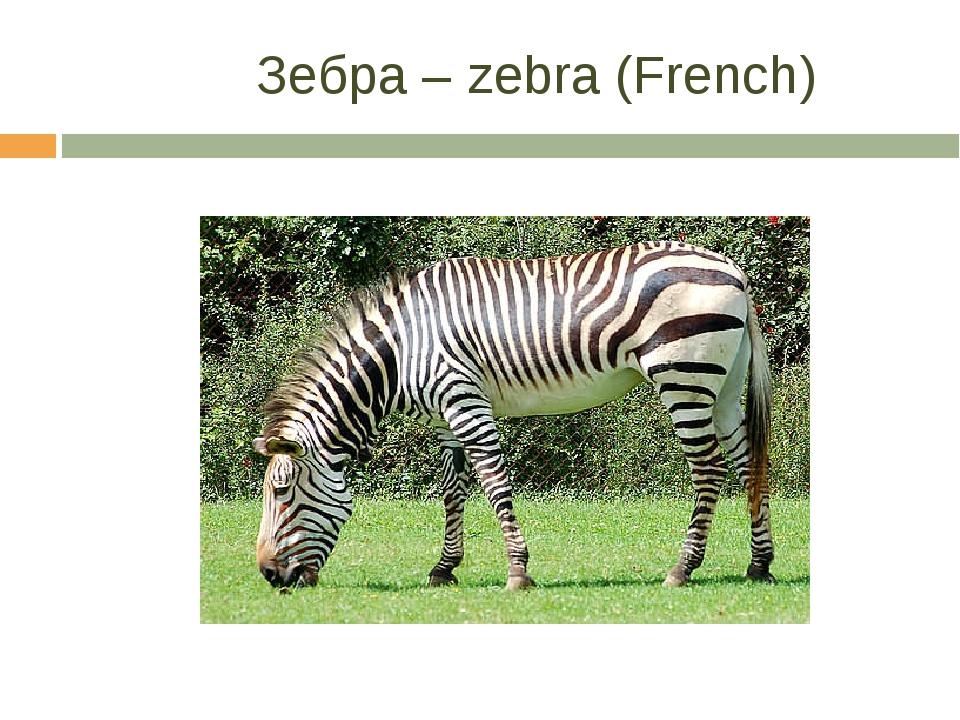 Зебра – zebra (French)