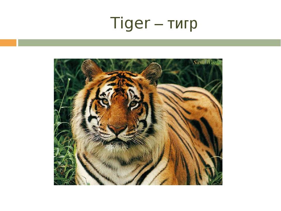 Tiger – тигр