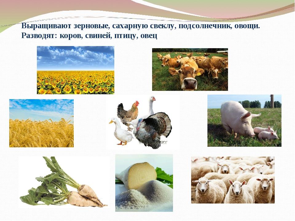 Выращивают зерновые, сахарную свеклу, подсолнечник, овощи. Разводят: коров, с...