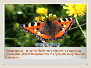 Крапивница – дневная бабочка с кирпично-красными крыльями. Живёт повсеместно.
