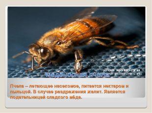 Пчела – летающее насекомое, питается нектаром и пыльцой. В случае раздражения