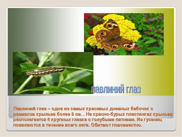 Павлиний глаз – одна из самых красивых дневных бабочек с размахом крыльев бол...