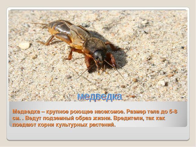 Медведка – крупное роющее насекомое. Размер тела до 5-8 см. . Ведут подземный...