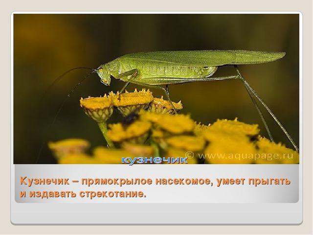 Кузнечик – прямокрылое насекомое, умеет прыгать и издавать стрекотание.