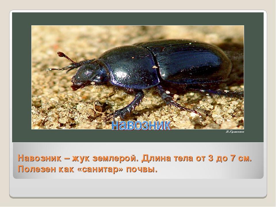 Навозник – жук землерой. Длина тела от 3 до 7 см. Полезен как «санитар» почвы.