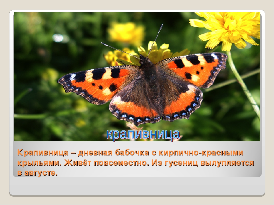 Крапивница – дневная бабочка с кирпично-красными крыльями. Живёт повсеместно....