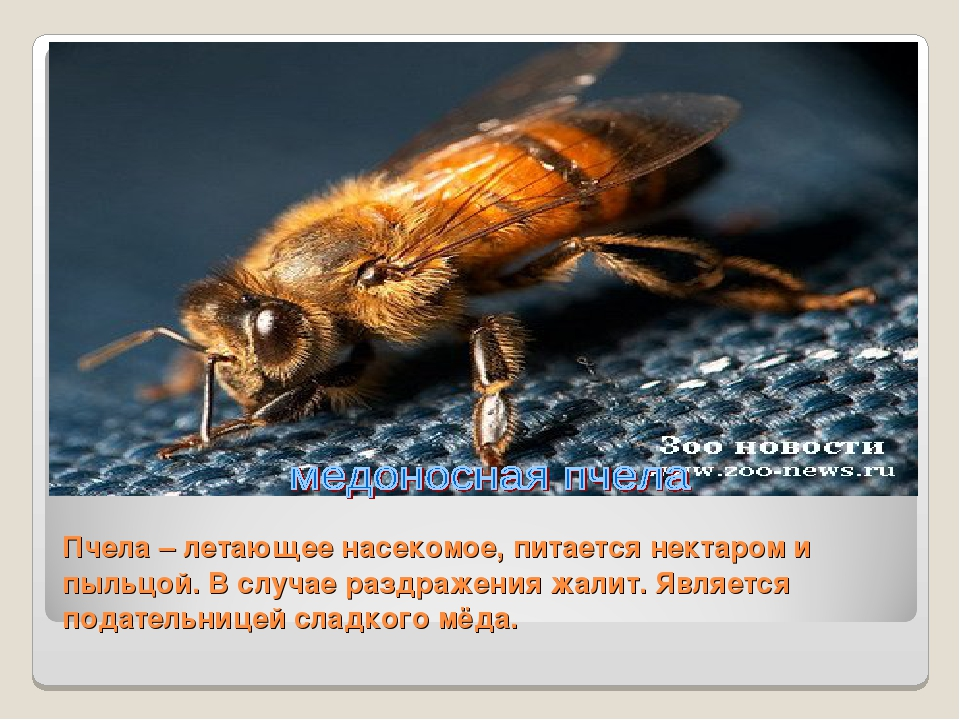 Пчела – летающее насекомое, питается нектаром и пыльцой. В случае раздражения...