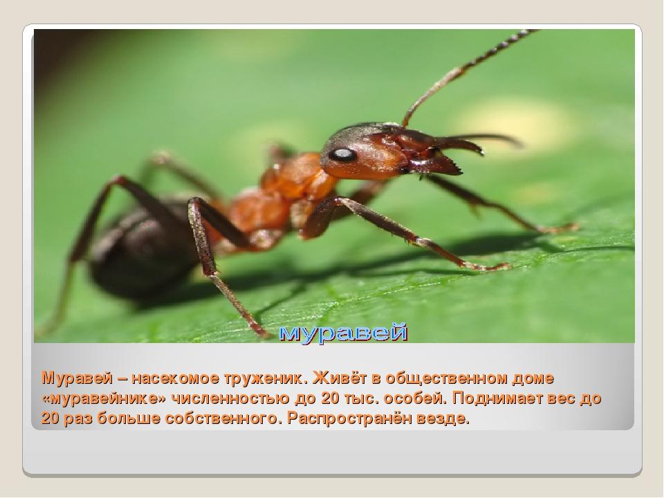 Муравей – насекомое труженик. Живёт в общественном доме «муравейнике» численн...