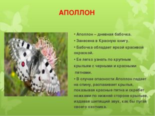 АПОЛЛОН Аполлон – дневная бабочка. Занесена в Красную книгу. Бабочка обладает