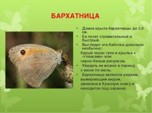 БАРХАТНИЦА Длина крыла бархатницы до 2,8 см. Ее полет стремительный и быстрый